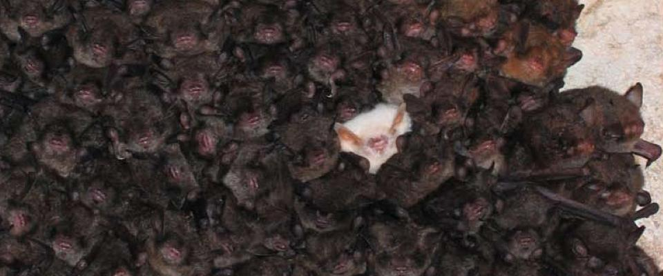Albino Bat In Cluster